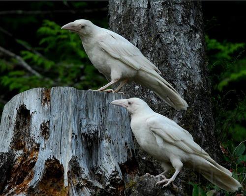 birds, crows, white crows