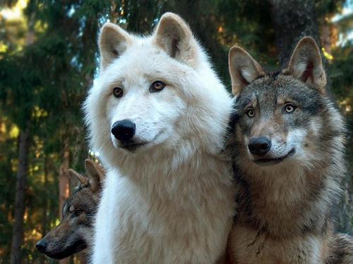 wolves-mysticmamma
